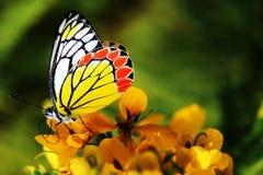 Πεταλούδα - σχέδιο της φύσης Στοκ φωτογραφίες με δικαίωμα ελεύθερης χρήσης