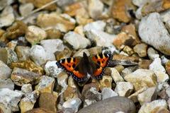 Πεταλούδα ταρταρουγών Στοκ Εικόνες