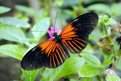 Πεταλούδα της Doris Longwing Στοκ φωτογραφία με δικαίωμα ελεύθερης χρήσης