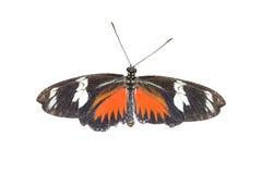 Πεταλούδα της Doris Longwing Στοκ Εικόνες