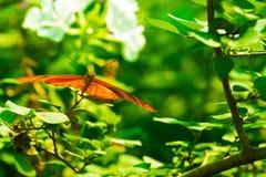Πεταλούδα της Julia στον ήλιο Στοκ Εικόνα