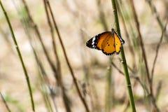 Πεταλούδα τιγρών Στοκ εικόνα με δικαίωμα ελεύθερης χρήσης