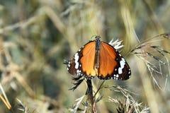 Πεταλούδα τιγρών Στοκ Εικόνες