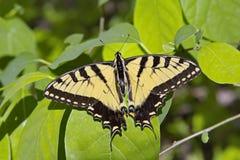 Πεταλούδα τιγρών Swallowtail Στοκ εικόνα με δικαίωμα ελεύθερης χρήσης