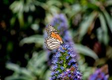 Πεταλούδα του Σαν Φρανσίσκο στο πάρκο Στοκ Φωτογραφία