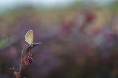 Πεταλούδα το πρωί Στοκ Φωτογραφίες