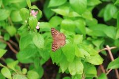Πεταλούδα Φύλλα σύλληψης πεταλούδων στον κήπο Στοκ φωτογραφία με δικαίωμα ελεύθερης χρήσης