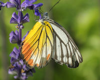 Πεταλούδα (χρωματισμένη Jezebel) Στοκ Εικόνες