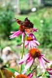 πεταλούδα δύο Στοκ Εικόνα