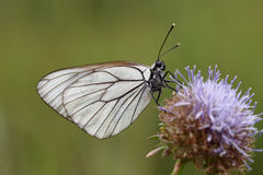 Πεταλούδα. Στοκ φωτογραφία με δικαίωμα ελεύθερης χρήσης