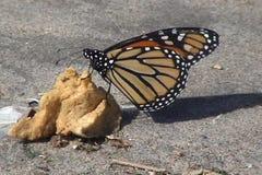 Πεταλούδα απόθεμα βίντεο