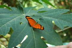 Πεταλούδα Στοκ Εικόνες