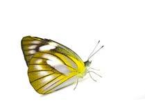 Πεταλούδα Στοκ εικόνα με δικαίωμα ελεύθερης χρήσης