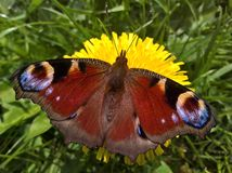 Πεταλούδα Aglais Io Peacock - που διαδίδεται στοκ εικόνα με δικαίωμα ελεύθερης χρήσης