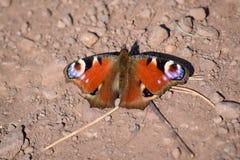 Πεταλούδα Aglais Peacock io Στοκ Εικόνα