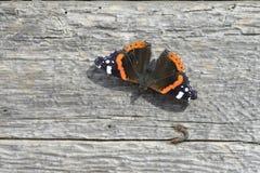 Πεταλούδα Amiral Στοκ Φωτογραφίες