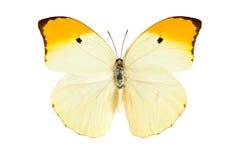 Πεταλούδα (Anteos Menippe) Στοκ φωτογραφία με δικαίωμα ελεύθερης χρήσης