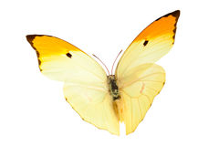 Πεταλούδα (Anteos Menippe) Στοκ Εικόνες