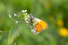 Πεταλούδα Anthocharis σε ένα λουλούδι Στοκ Φωτογραφίες