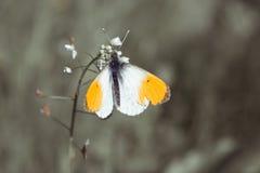 Πεταλούδα Anthocharis Στοκ Εικόνα
