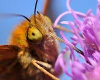 Πεταλούδα Argynnis adippe στη μακροεντολή Στοκ εικόνες με δικαίωμα ελεύθερης χρήσης