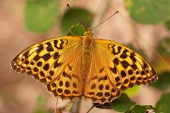 Πεταλούδα Argynnis adippe Στοκ Εικόνες