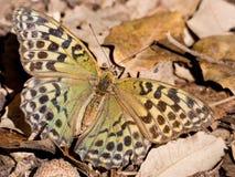 Πεταλούδα Argynnis pandora στην εποχή φθινοπώρου Στοκ εικόνες με δικαίωμα ελεύθερης χρήσης