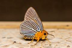 Πεταλούδα Awlet Στοκ Φωτογραφία