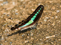 Πεταλούδα Bluebottle Στοκ Εικόνες