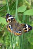 Πεταλούδα Buckeye στον πράσινο μίσχο, φτερά που διαδίδονται έξω. Στοκ Εικόνα