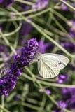 Πεταλούδα cardamines Anthocharis Στοκ φωτογραφία με δικαίωμα ελεύθερης χρήσης