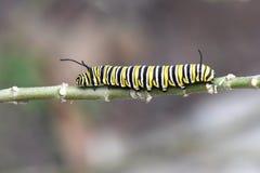 Πεταλούδα Caterpillar μοναρχών Στοκ εικόνα με δικαίωμα ελεύθερης χρήσης