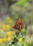 Πεταλούδα Checkerspot Chalcedon στο φύλλο Στοκ Εικόνα