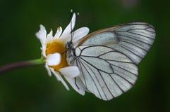 Πεταλούδα - crataegi Aporia Στοκ Εικόνες