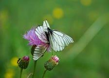 Πεταλούδα Crataegi Aporia Στοκ Φωτογραφία