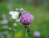 Πεταλούδα Crataegi Aporia Στοκ Εικόνες
