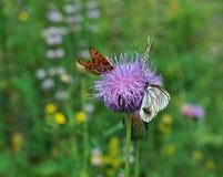 Πεταλούδα Crataegi Aporia Στοκ εικόνες με δικαίωμα ελεύθερης χρήσης
