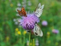 Πεταλούδα Crataegi Aporia Στοκ φωτογραφία με δικαίωμα ελεύθερης χρήσης