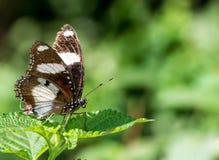 Πεταλούδα Eggfly Danaid Στοκ φωτογραφία με δικαίωμα ελεύθερης χρήσης
