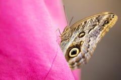 Πεταλούδα Eurilochus Caligo σε ένα ρόδινο πουκάμισο Στοκ Φωτογραφίες