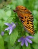 Πεταλούδα Fritillary Κόλπων Στοκ εικόνα με δικαίωμα ελεύθερης χρήσης