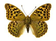 Πεταλούδα Fritillary Niobe Στοκ φωτογραφία με δικαίωμα ελεύθερης χρήσης