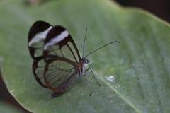 Πεταλούδα Glasswing Στοκ εικόνες με δικαίωμα ελεύθερης χρήσης