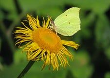 Πεταλούδα Gonepteryx Στοκ φωτογραφία με δικαίωμα ελεύθερης χρήσης