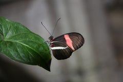 Πεταλούδα Heliconius Στοκ Φωτογραφίες