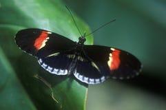 Πεταλούδα, Heliconius melpomene, κολπίσκος καρύδων, ΛΦ Στοκ Εικόνες