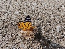 Πεταλούδα & x28 Inchworm moth& x29  Στοκ φωτογραφίες με δικαίωμα ελεύθερης χρήσης