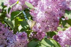 Πεταλούδα Iphiclides Podalirius Podalirio στα λουλούδια Syringa Στοκ φωτογραφίες με δικαίωμα ελεύθερης χρήσης