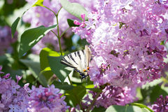 Πεταλούδα Iphiclides Podalirius Podalirio στα λουλούδια Syringa Στοκ φωτογραφία με δικαίωμα ελεύθερης χρήσης