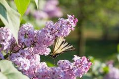 Πεταλούδα Iphiclides Podalirius Podalirio στα λουλούδια Syringa Στοκ Εικόνες